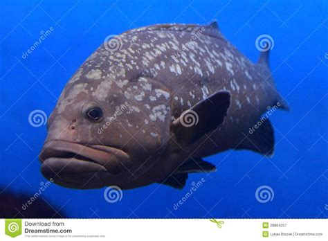 grouper giant royalty adult water