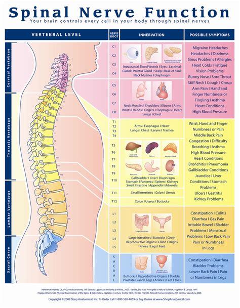 spinal nerve function anatomical chart anatomy models  anatomical charts