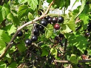 Schwarze Johannisbeere Pflanzen : schwarze johannisbeere ribes nigrum direkt von der ~ Lizthompson.info Haus und Dekorationen