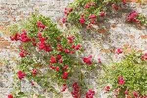 Kletterrosen Richtig Pflanzen : kletterrosen richtig schneiden ~ Markanthonyermac.com Haus und Dekorationen