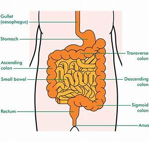 Small Intestine Diagram - Anatomy