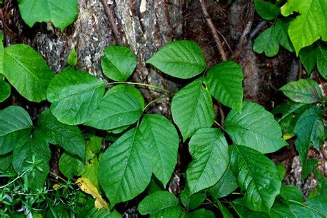 poison plant pictures medicinal plants poison ivy