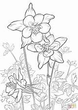 Coloring Columbine Mountain Rocky Pages Flowers Drawing Flower Drawings Printable Adult Sheets Buttercup Mountains Supercoloring Tattoo Patterns Draw Illustration State sketch template