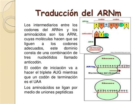 transcripcion  traduccion del adn