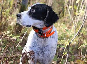 In pursuit of the perfect bird dog - StarTribune.com