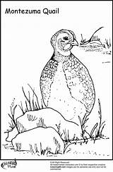 Quail Coloring Pages Bird Ministerofbeans Careful sketch template