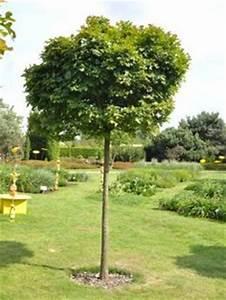 Baum Vorgarten Immergrün : bildergebnis f r kugelbaum immergr n garten pinterest ~ Michelbontemps.com Haus und Dekorationen