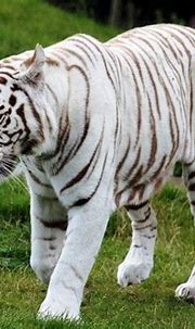 Pin by Sharyl Friend Pavlisko on Big Cats! | White tiger ...