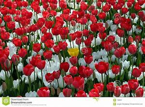 Red and White flower field stock image. Image of meadow ...
