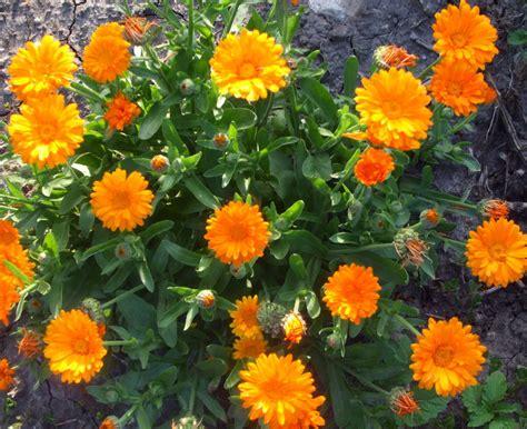 what plants are annuals prairie garden seeds