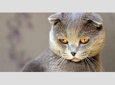 ᐅ Muschi und Miez kennst du diese 10 Katzenrassen?