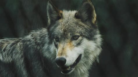 Wolf Wallpaper Real by Endangered Mexican Wolf Escapes At Colorado Wildlife Center