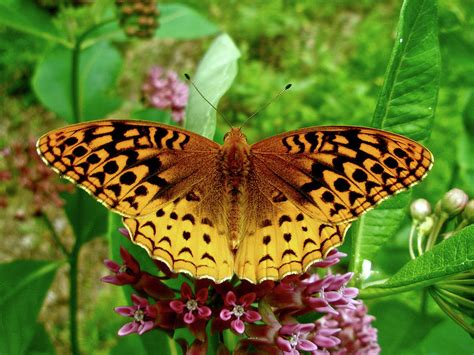 great spangled fritillary butterfly photograph by nature