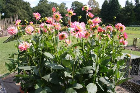 planting dahlias dahlia melody gipsy for more information on these great plants check out the plant lover s