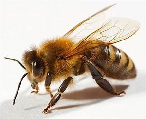 Лечение простатита подмором пчел рецепт