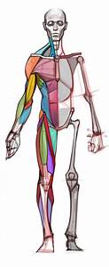 Simplified Anatomy Charts Comd 1231 Figure Drawing D162