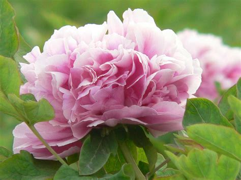 peony flower plant pink peonies flowers garden care varieties guide 6a colors wallpapers auntiedogmasgardenspot