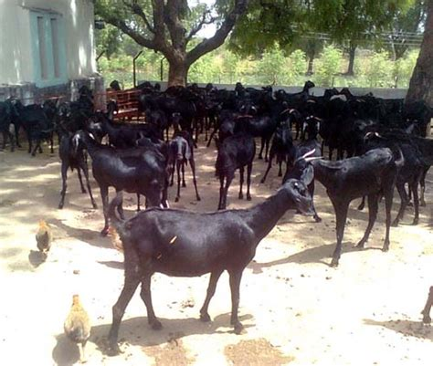 goat farming modern farming methods