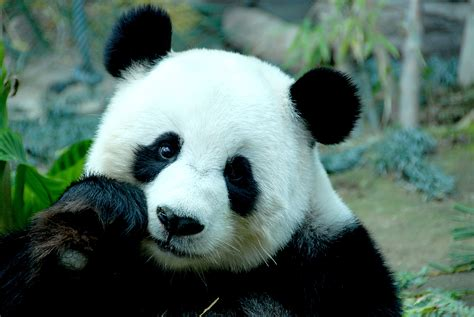 177 Panda Hd Wallpapers