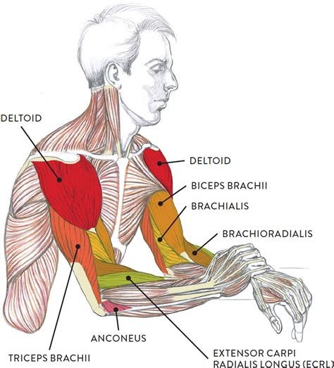 This is a table of skeletal muscles of the human anatomy. Muscles of the Arm and Hand - Classic Human Anatomy in ...