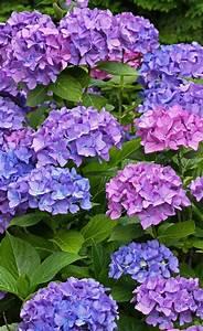 Welche Erde Für Hortensien : hortensien schneiden g rten hortensie schneiden garten und hortensien ~ Eleganceandgraceweddings.com Haus und Dekorationen