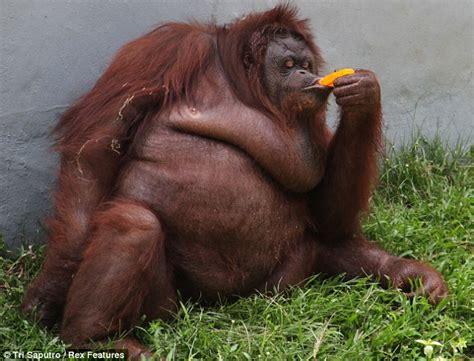 Orangutan! Sweet Tooth Bendot Beats The Heat By Begging