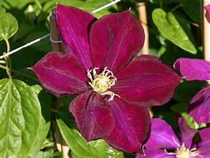 Clematis Viticella Sorten : clematis 39 monte cassino 39 clematis 39 monte cassino ~ Lizthompson.info Haus und Dekorationen