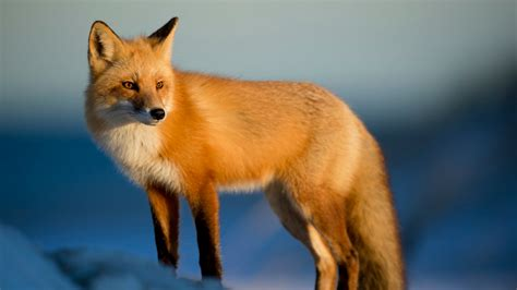 Red Fox Free Stock Photo  Public Domain Pictures