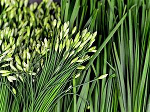 What are garlic chives?