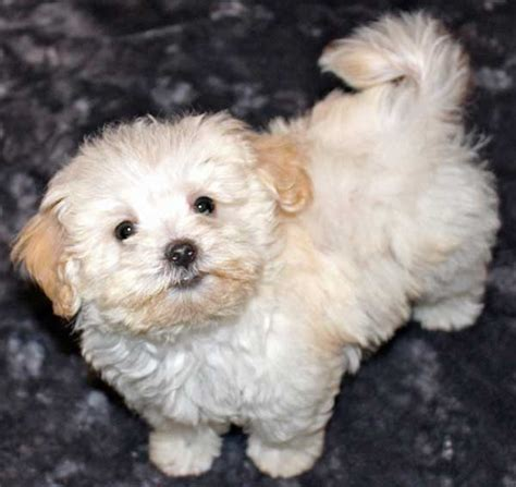 Do Bichon Yorkies Shed by Yorkie Bichon Mix Temperament Breeds Picture