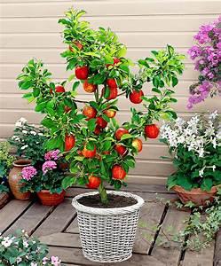 Mini Kiwi Schneiden : kaufen sie jetzt obstbaum terrassen apfelbaum red spur delicious kaufen ~ Orissabook.com Haus und Dekorationen