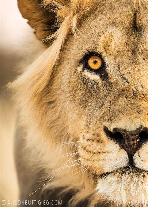 lions alison buttigieg wildlife photography