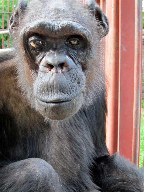oliver chimpanzee  humanlike traits dies