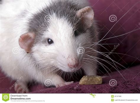 Gray And White Domestic Rat On Red Stock Photo - Image ...