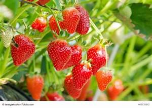 Erdbeeren Richtig Pflanzen : erdbeeren pflanzen pflege und ernte ~ Lizthompson.info Haus und Dekorationen