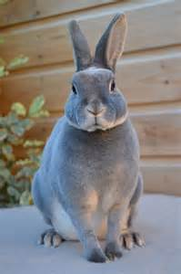 Blue Otter Mini Rex Rabbit