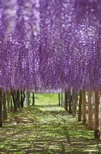 Tree Wisteria Tunnel Japan