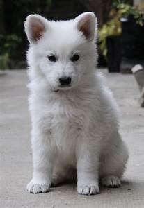 Bébé Loup Blanc : berger blanc suisse recherche google too cute ~ Farleysfitness.com Idées de Décoration