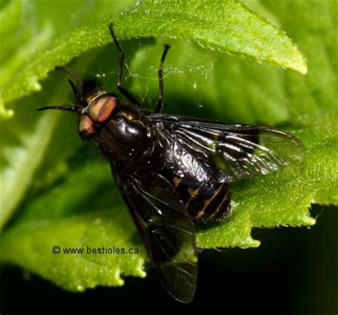 la mouche 224 chevreuil