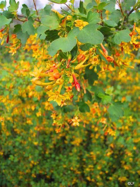 Ribes aureum , (golden currant)