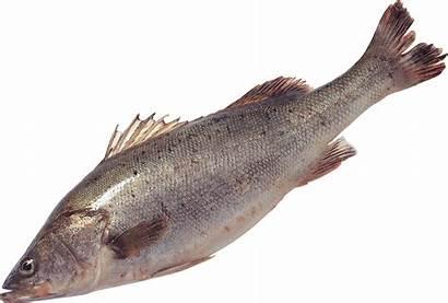 Fish Transparent Starpng