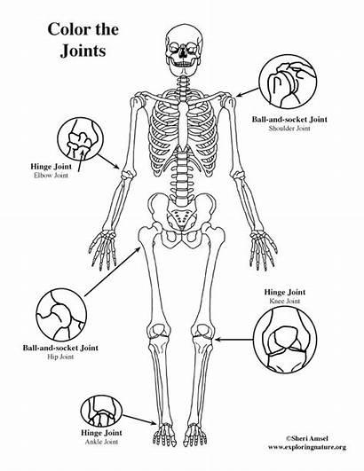 Joints Basic Coloring Anatomy Shoulder Dance Hip