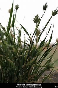 Erowid Plants Vaults : Images : phalaris brachystachys ...