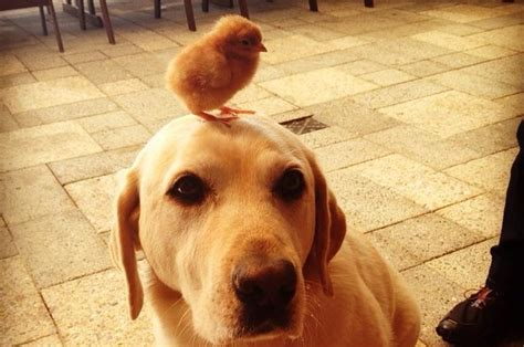 reasons chickens    cutest