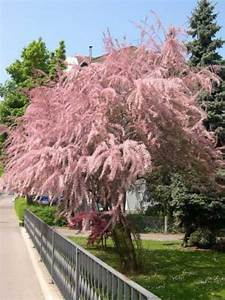 Johannisbeeren Hochstamm Kaufen : tamarix parviflora fr hlings tamariske g nstig bestellen ~ Lizthompson.info Haus und Dekorationen