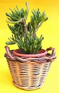 Plante Succulente Espèces Représentatives : crassula planter et entretenir ooreka ~ Nature-et-papiers.com Idées de Décoration