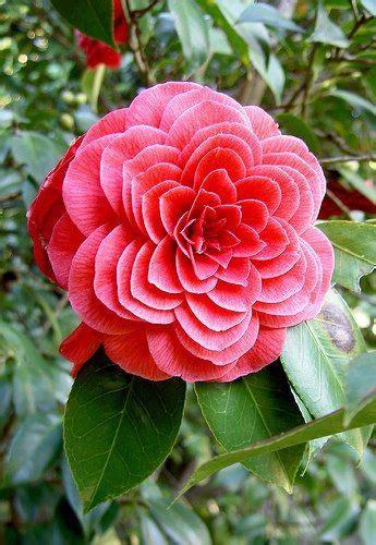 camellia alabamas state flower camellia   genus
