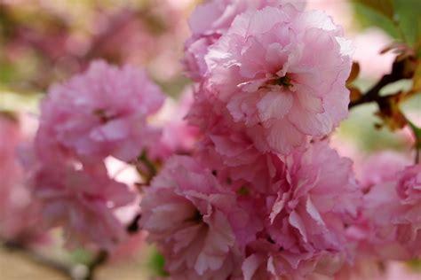 trees that pink flowers file big pink flowers tree west virginia forestwander jpg