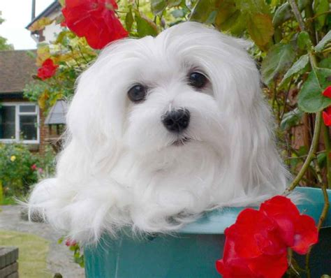 hypoallergenic dog breeds dogs  dont shed