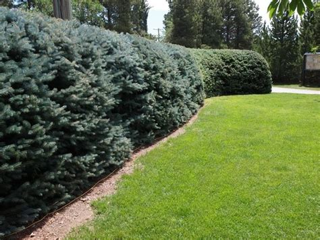 pini da giardino pini da siepe siepi pini da siepe giardino